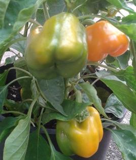garden peppers